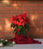 圣诞节一品红花、在木桌上的大戟属Pulcherrima包裹在红色围巾和装饰在红砖墙壁上 免版税库存照片