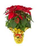圣诞节一品红 库存图片