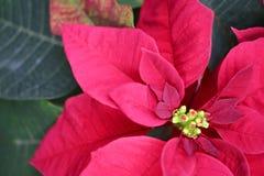 圣诞节一品红 免版税库存照片