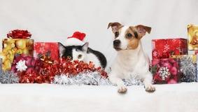圣诞节与猫的杰克Rusell狗 库存图片