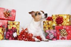 圣诞节与礼物的杰克罗素狗 免版税库存照片
