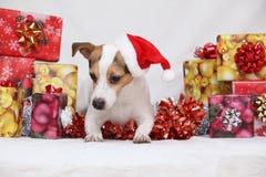 圣诞节与礼物的杰克罗素狗 库存图片