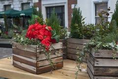 圣诞节作为装饰的花一品红的圣诞节科文特花园 库存图片