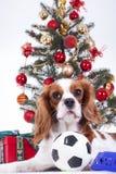 圣诞节动物圣诞节狗宠物 美丽的友好的骑士国王查尔斯狗狗 纯血统似犬训练的狗 库存图片