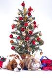 圣诞节动物圣诞节狗宠物 美丽的友好的骑士国王查尔斯狗狗 纯血统似犬训练的狗 免版税库存图片