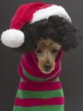 圣诞节卷毛 免版税库存图片