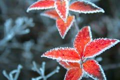 圣诞节叶子 免版税库存图片