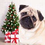 圣诞节和新年概念-哈巴狗狗在装饰的屋子里与 免版税图库摄影
