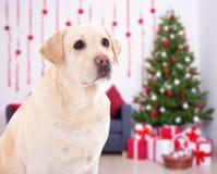 圣诞节和新年概念-在装饰的r的金毛猎犬 免版税库存图片