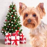 圣诞节和新年概念-尾随在得体的约克夏狗 图库摄影