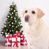 圣诞节和新年概念-尾随在decorat的金毛猎犬 库存图片