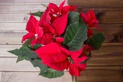 圣诞节在木背景的花一品红 免版税图库摄影