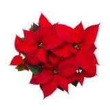 圣诞节在白色背景隔绝的花一品红 库存照片