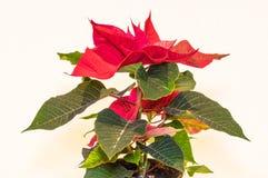 圣诞节在白色背景隔绝的花一品红 免版税库存图片