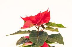 圣诞节在白色背景隔绝的花一品红 免版税图库摄影