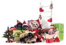 圣诞节奇瓦瓦狗 免版税图库摄影