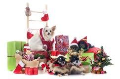 圣诞节奇瓦瓦狗 库存图片