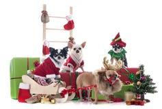 圣诞节奇瓦瓦狗 免版税库存照片