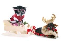 圣诞节奇瓦瓦狗 免版税库存图片