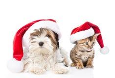 圣诞节孟加拉在红色圣诞老人帽子的猫和Biewer约克夏狗小狗 背景查出的白色 免版税库存图片