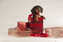 圣诞节小狗 免版税库存照片