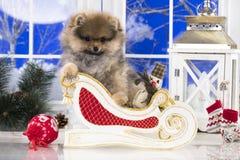 圣诞节小狗Pomeranian波美丝毛狗 库存照片