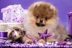 圣诞节小狗Pomeranian波美丝毛狗 免版税库存照片
