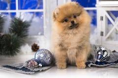 圣诞节小狗Pomeranian波美丝毛狗 免版税库存图片
