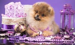圣诞节小狗Pomeranian波美丝毛狗 库存图片