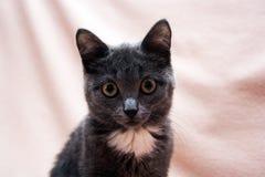 2圣诞节小猫pinecone反射 库存图片