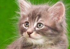 2圣诞节小猫pinecone反射 库存照片