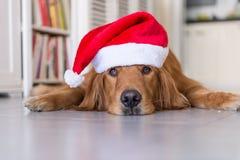 戴圣诞节帽子的金毛猎犬 库存照片