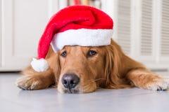 戴圣诞节帽子的金毛猎犬 免版税库存图片