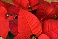 圣诞节接近的一品红红色 库存图片