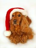 圣诞节斗鸡家帽子红色西班牙猎狗 免版税库存图片