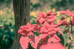 圣诞节星,生长在冬天的poinesettia树 免版税库存图片