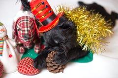 圣诞节服装的比利时Griffon 库存图片