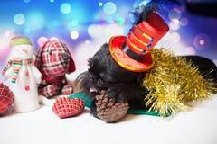 圣诞节服装的比利时Griffon 免版税库存图片