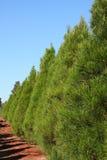 圣诞节杉木垂直行的结构树 图库摄影