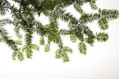 圣诞节查出的杉树分行 免版税库存图片
