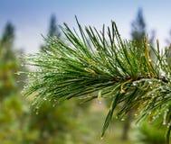 圣诞节树背景与露水的云杉针特写镜头  免版税库存照片