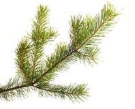圣诞节毛皮查出的零件结构树 免版税图库摄影