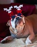 圣诞节牛头犬 库存照片