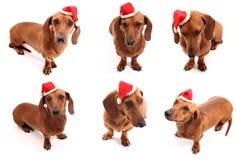 圣诞节狗姿势 图库摄影