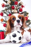 圣诞节狗庆祝与树的圣诞节在演播室 圣诞节中看不中用的物品装饰玻璃球和骑士国王查尔斯 免版税库存图片