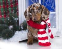 圣诞节狗达克斯猎犬 免版税库存图片