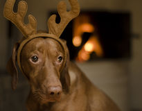 圣诞节狗 免版税库存图片