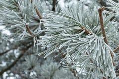 圣诞节用雪报道的杉树分支 免版税图库摄影