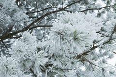 圣诞节用雪报道的杉树分支 库存图片