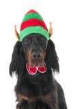 圣诞节的纵向狗 免版税库存照片